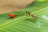 Golden Mantella Frog, Andasibe 6