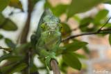 Parson's Chameleon, Andasibe  11