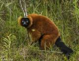 Red Ruffed Lemur, Andasibe  5
