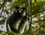 Indri, Andasibe  5