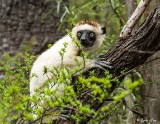Verreaux's Sifaka, Spiny Forest, Mandrare River Camp  20