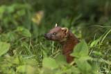 Ringtailed Mongoose, Amber Mountain  3