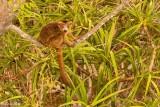 Crowned Lemur, Tsingy, Iharana Bush Camp  6