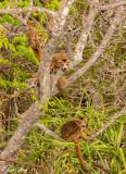 Crowned Lemur, Tsingy, Iharana Bush Camp  5