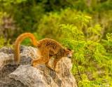 Crowned Lemur, Tsingy, Iharana Bush Camp  2