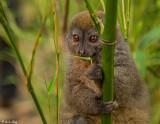 Eastern Lesser Gray Bamboo Lemur  2