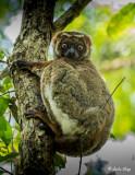 Eastern Woolly Lemur, Andasibe  4