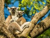 Ringtail Lemur, Mandrare  5