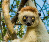 Verreaux's Sifaka, Spiny Forest, Mandrare River Camp  13