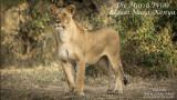 Maasai Mara's Marsh Pride of Lions