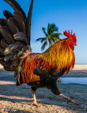 Rooster, Higgs Beach  8
