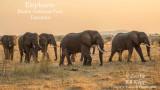 The Elephants of Ruaha National Park, Tanzania