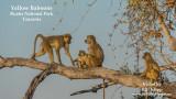 The Yellow Baboons of Ruaha National Park, Tanzania