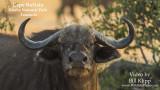 Cape Buffalo of Ruaha Ntl. Park Time Lapse: