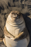 Elephant Seal Pup, Gold Harbor  4