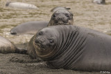 Elephant Seal Pups, Gold Harbor  7