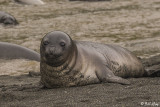 Elephant Seal Pup, Gold Harbor  33