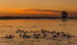 Canada Geese Sunset  9J