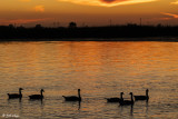 Canada Geese Sunset  8J