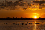 Canada Geese Sunset  7J