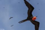 Frigate Bird, North Seymour Island  1