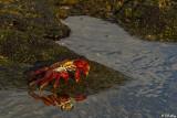Sally Light-foot Crab, Puerto Egas  1