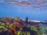 Sea Lion, Fernandina Island  2