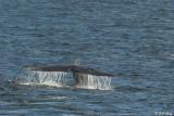 Blue Whale fluke,  Isabela Island  1