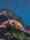Green Sea Turtle, Fernandina Island 1