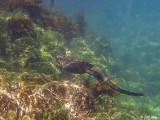 Marine Iguana, Fernandina Island 1