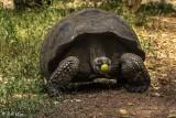 Galapagos Giant Tortoise, Santa Cruz Island  2