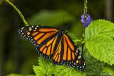 Monarch Butterfly   7