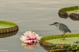 Striated Heron on Giant Lily, Porto Jofre  1