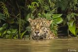 Jaguar, Porto Jofre  1