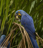 Hyacinth Macaws, Porto Jofre  4