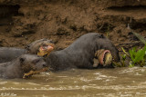 Giant Otters,  Porto Jofre  7