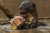 Giant Otter,  Porto Jofre  12