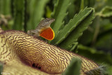 Cuban Brown Anole on Starfish Cactus  10