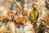 Barred Woodpecker, Araras Ecolodge  1