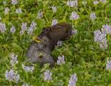 Capybara, Araras Ecolodge  2
