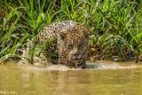 Jaguar, Porto Jofre  60