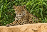 Jaguar, Porto Jofre  64