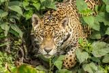 Jaguar, Porto Jofre  67