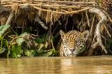 Jaguar, Porto Jofre  69