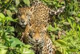 Jaguar, Porto Jofre  72