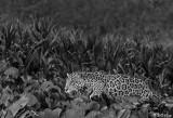 Jaguar, Porto Jofre  29