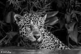 Jaguar, Porto Jofre  30