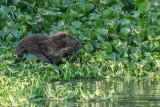 Beaver  17-2