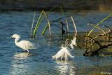 Snowy Egrets  17-1