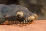 Sea Lion, Rabida Island  5